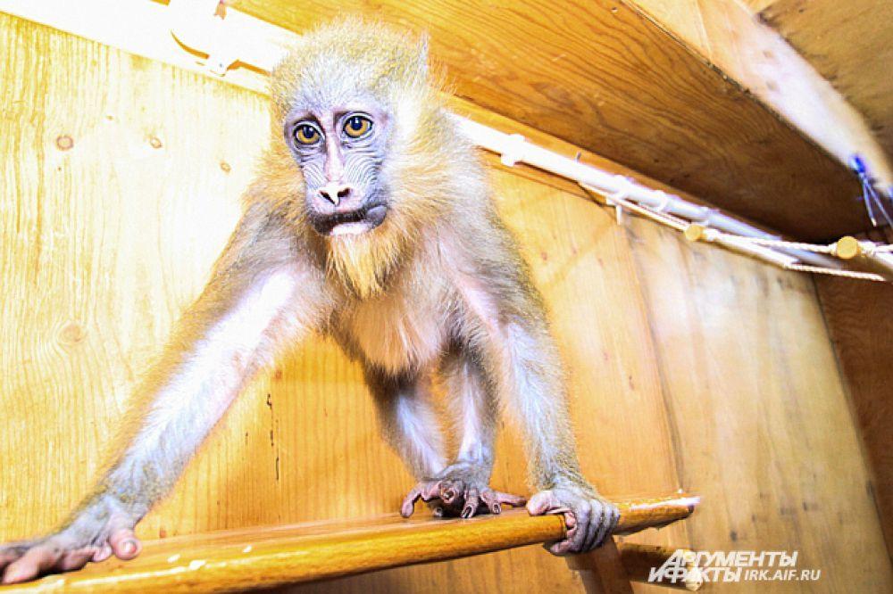 Питается обезьянка пока детской молочной смесью.