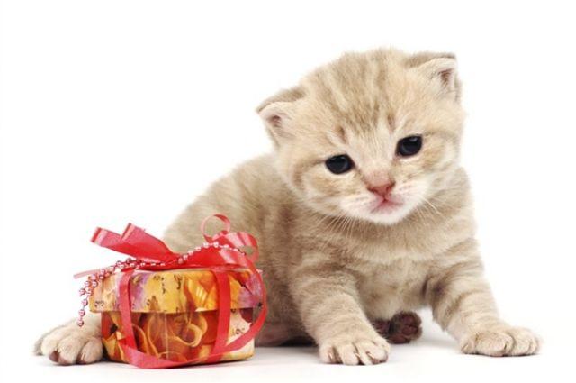 Купить Британского Котенка в Минске, Беларуси: фото, цена 78
