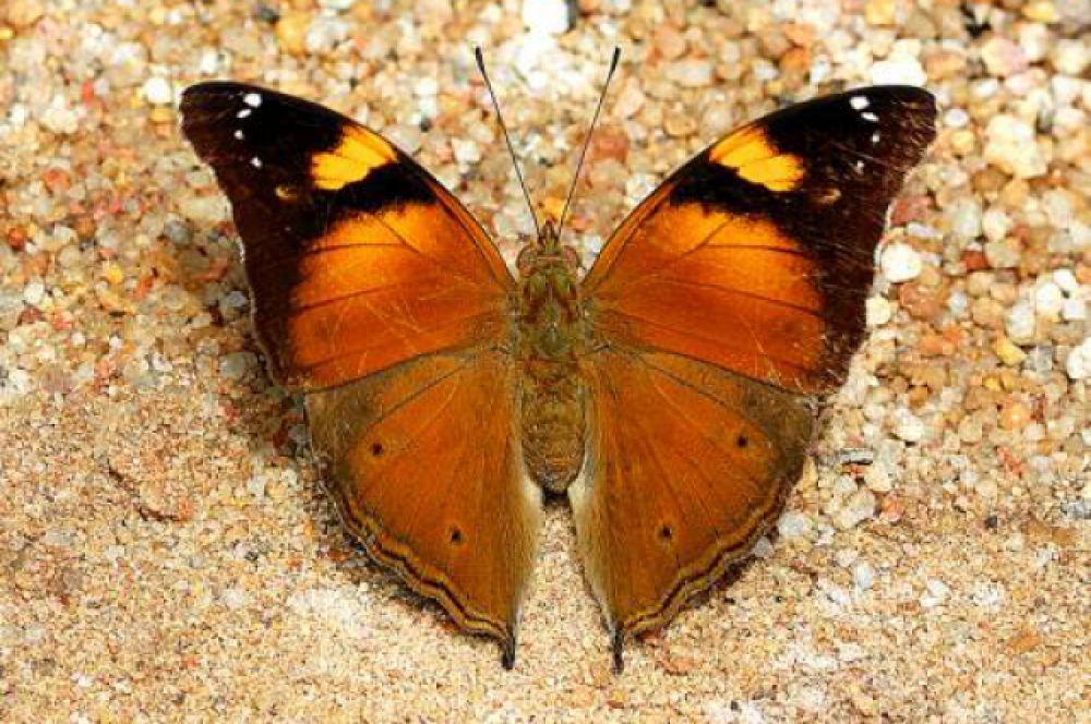 Сухой Лист при сложенных крыльях, действительно, напоминает маленький листик.