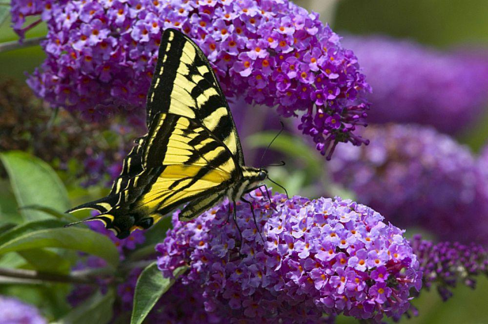 Известно около 200 тысяч видов бабочек, правда, 90 % из них - тля.
