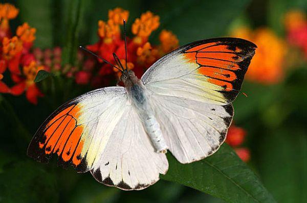 Апельсиновая бабочка.