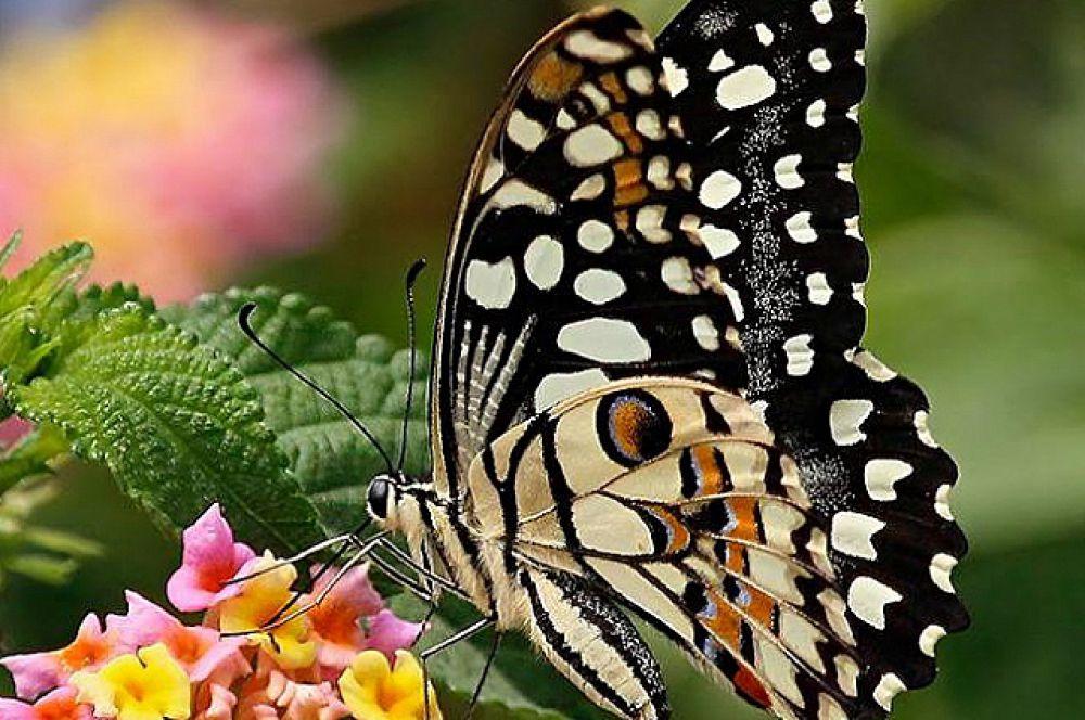 Бабочка Демолей или Лимонный парусник.