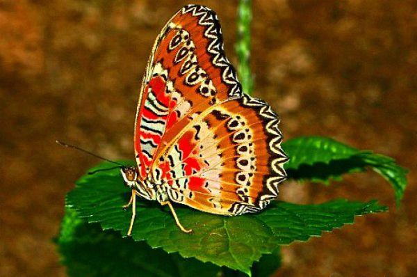 Узор на крыльях Златоглазки Библис напоминает арабскую вязь.