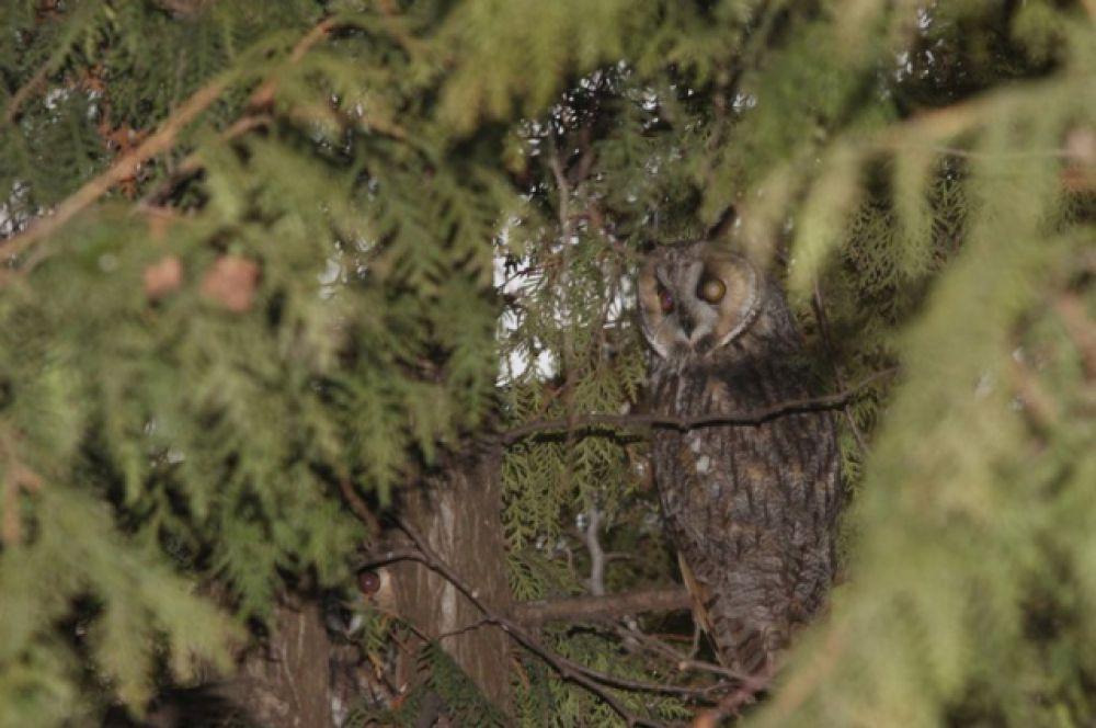Несколкь сов выводят потомство до сих пор в Белоусовском парке