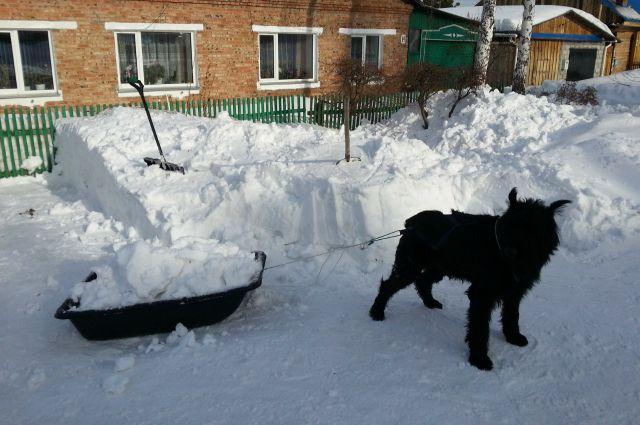 Лимон в специальной упряжке вывозит снег со двора.