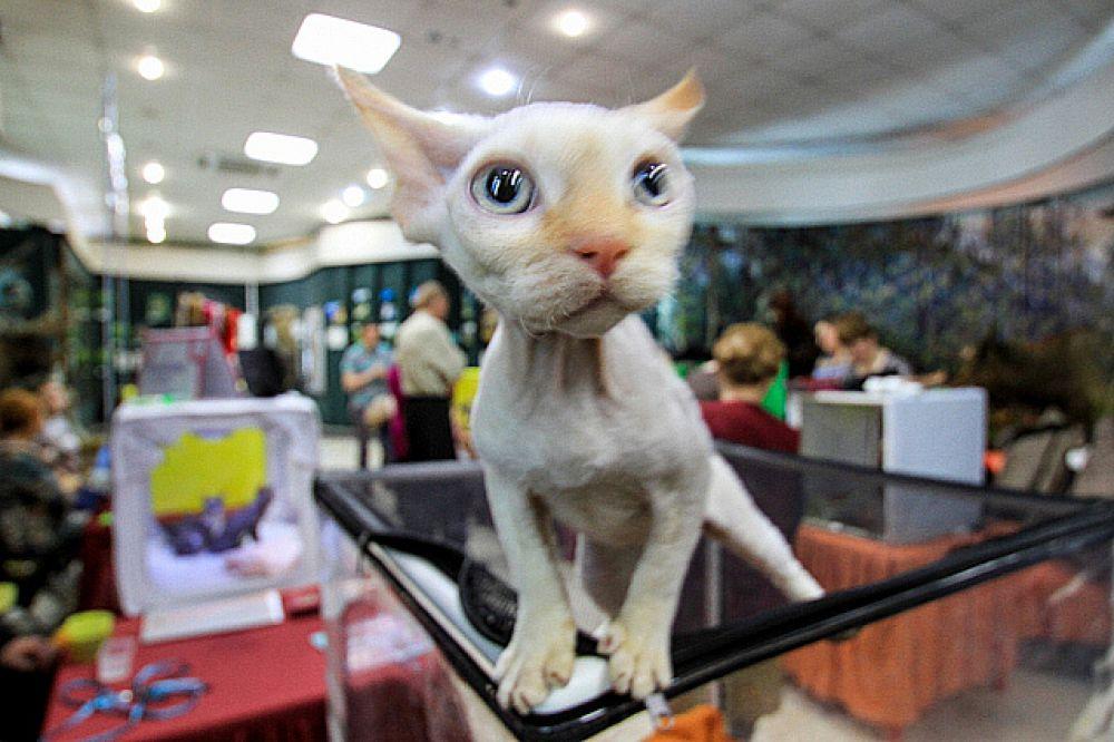 В музее было выставлено около 50 котят различных пород. Понравившегося питомца можно было приобрести.