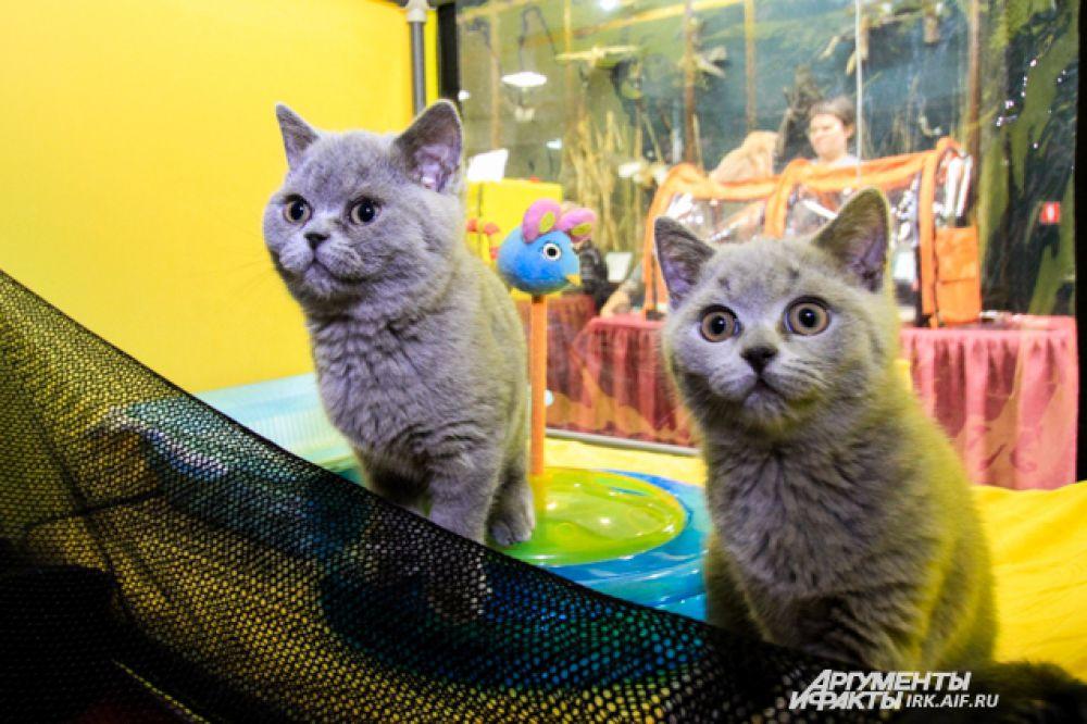 В выставочном деле котята еще совсем новички, но уже уверенно чувствуют себя перед публикой, не боятся людей и легко идут на контакт.