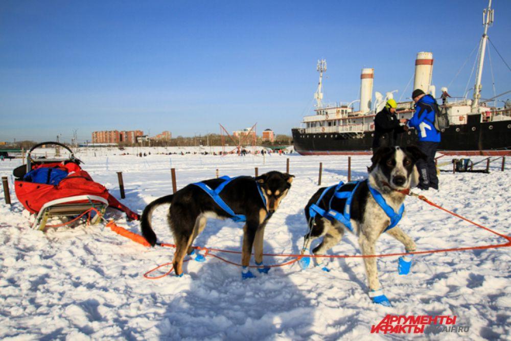 Не все хвостатые любят снег. Некоторым пришлось одевать носочки.