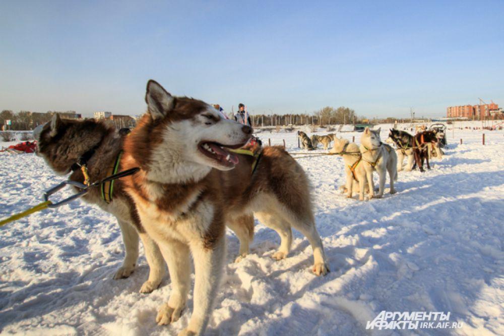 Байкальские хаски, выведенные от аляскинских хаски, беспокоятся из-за слишком теплой погоды. Для них оптимальная температура -20 градусов.
