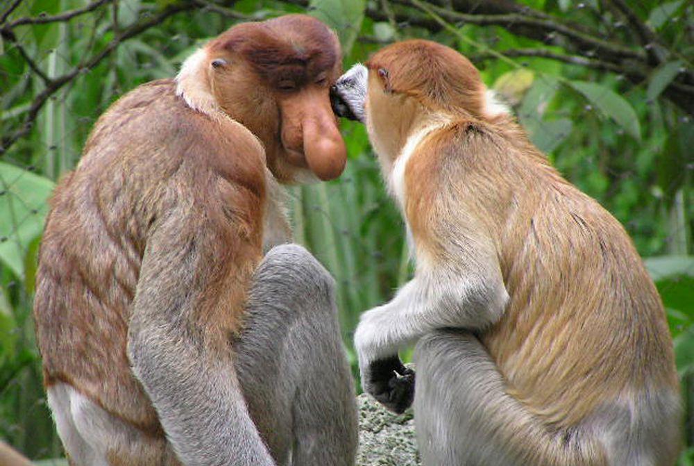 Носач обыкновенный отличается крупным носом и большим брюхом. Питается семенами, листьями и зелеными фруктами. В отличие от других приматов, пользуется хвостом не для хватания, а только для баланса.
