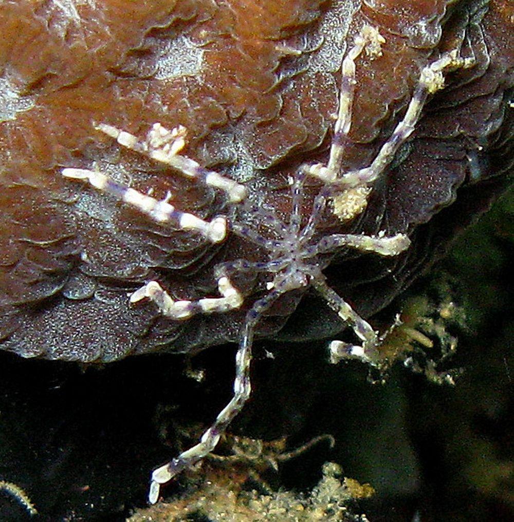 Морской паук-вампир из Антарктики обитает на дне океана. Его пищу составляют медлительные губки и морские моллюски, ползающие по дну. Высасывает соки из своих жертв с помощью трубчатого жала.