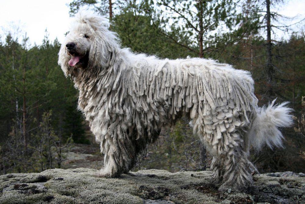 Комондор - достаточно необычная порода собак. Принадлежит к венгерским овчаркам. Тело ее покрыто густой белой шерстью, которая закручивается и напоминает дреды. Высота собак в холке - 70-80 см и больше. Вес 35-60 кг.