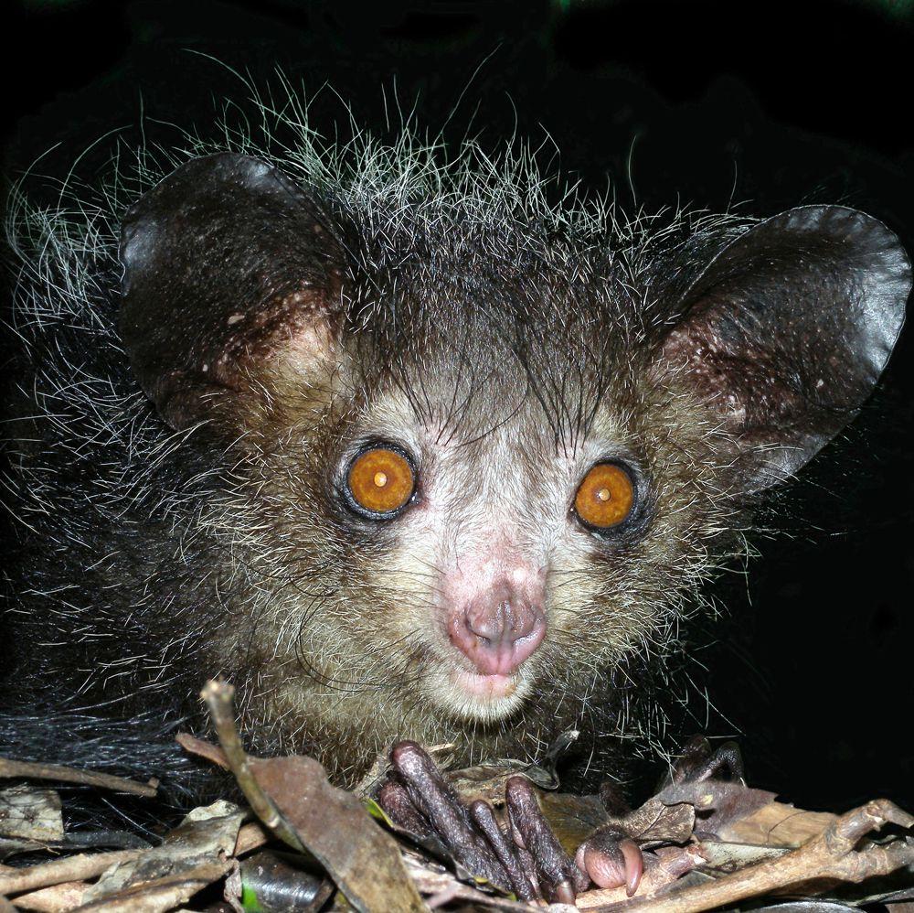 Мадагаскарская руконожка - самый большой в мире ночной примат.