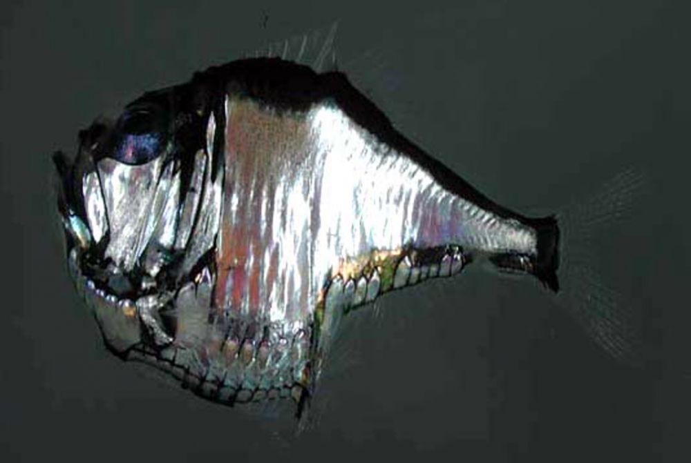 Рыба-топорик получила такое название из-за формы тела. Глаза у рыбы расположены на макушке, ее длина не превышает 15 сантиметров.