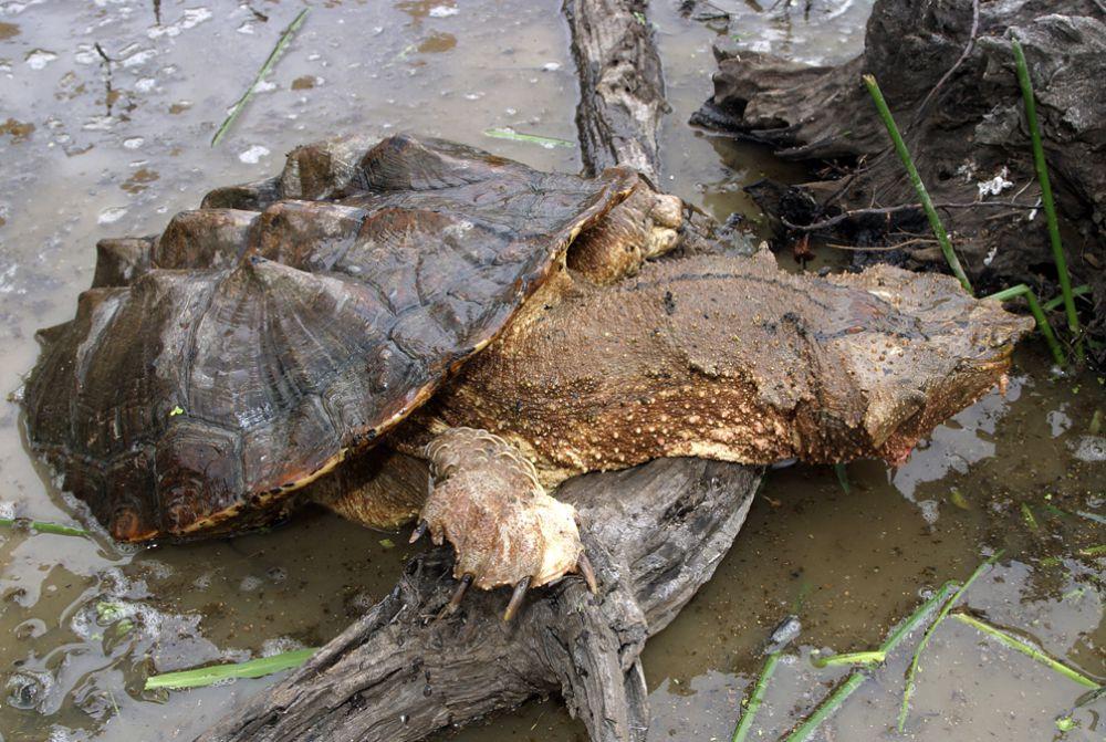 Название этой черепахи Matamata в переводе с испанского означает «я убиваю». Это создание с плоской головой и шеей, покрытой многочисленными выпуклостями, бородавками, и горбами...