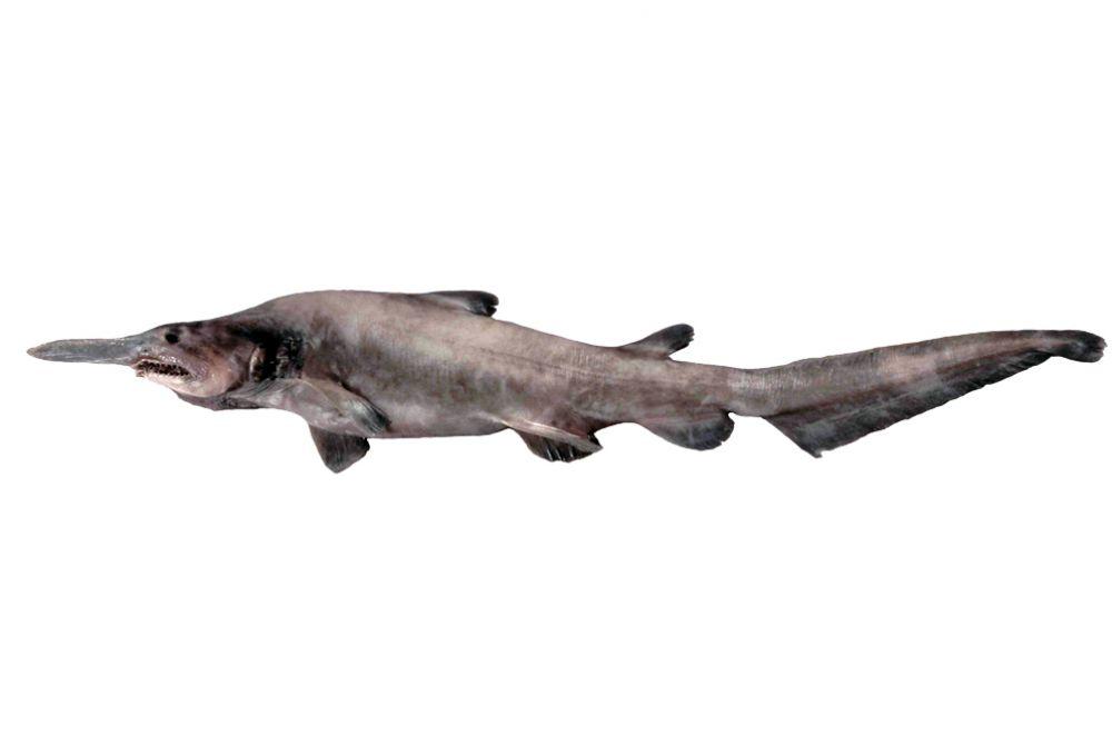Акула-гоблин свое название получила за причудливую внешность: морда этой акулы заканчивается длинным клювовидным выростом, а длинные челюсти могут далеко выдвигаться. Крупнейшая известная особь достигала длины 3,8 метра и весила 210 кг.
