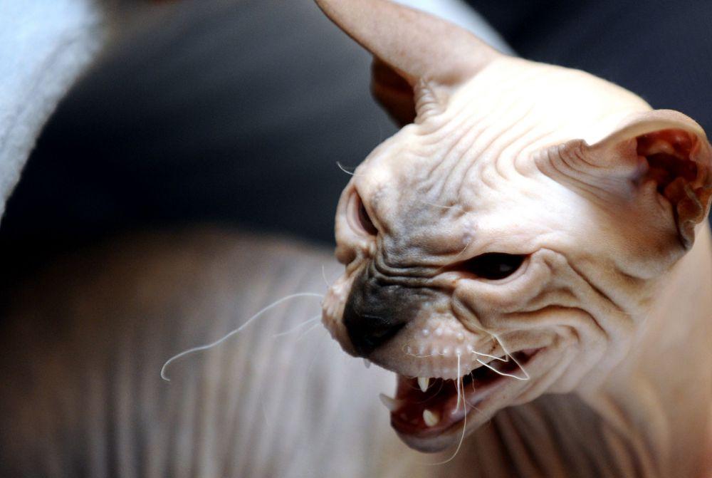 Сфинксы - группа пород бесшёрстных кошек, при выведении породы была закреплена естественная мутация, приводящая к отсутствию шерсти.