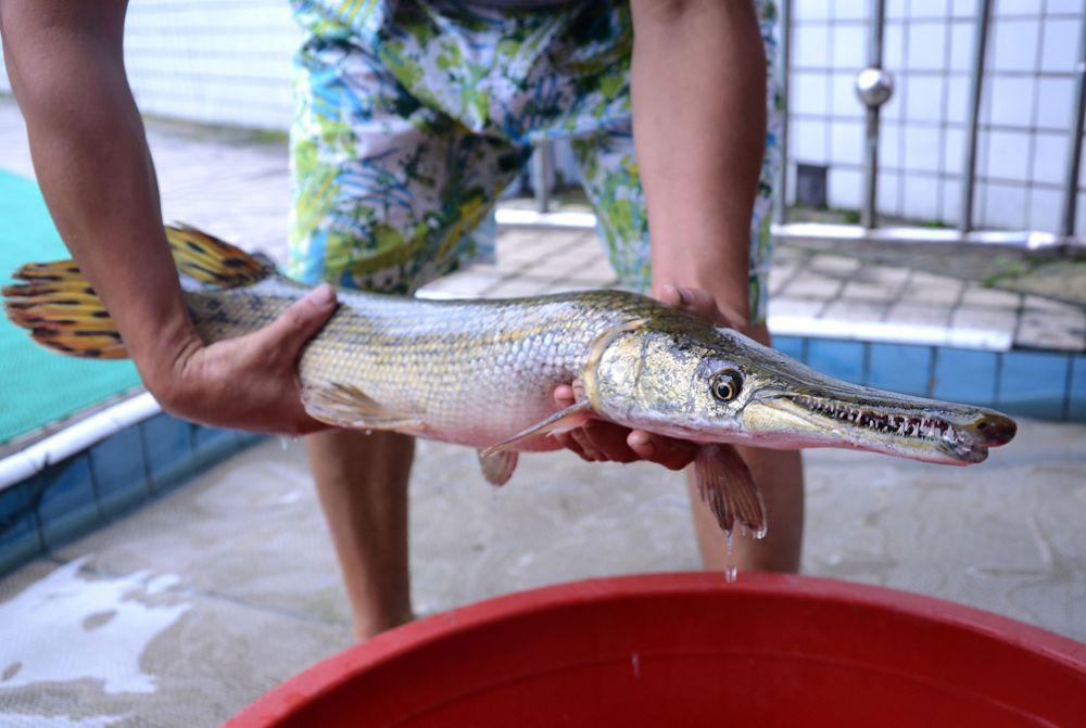 Панцирные щуки, или рыбы-аллигаторы, являются самыми крупными пресноводными рыбами, обитающими в водоемах Центральной и Северной Америки и острова Куба. Тело этих рыб покрыто панцирем из толстой и прочной чешуи.