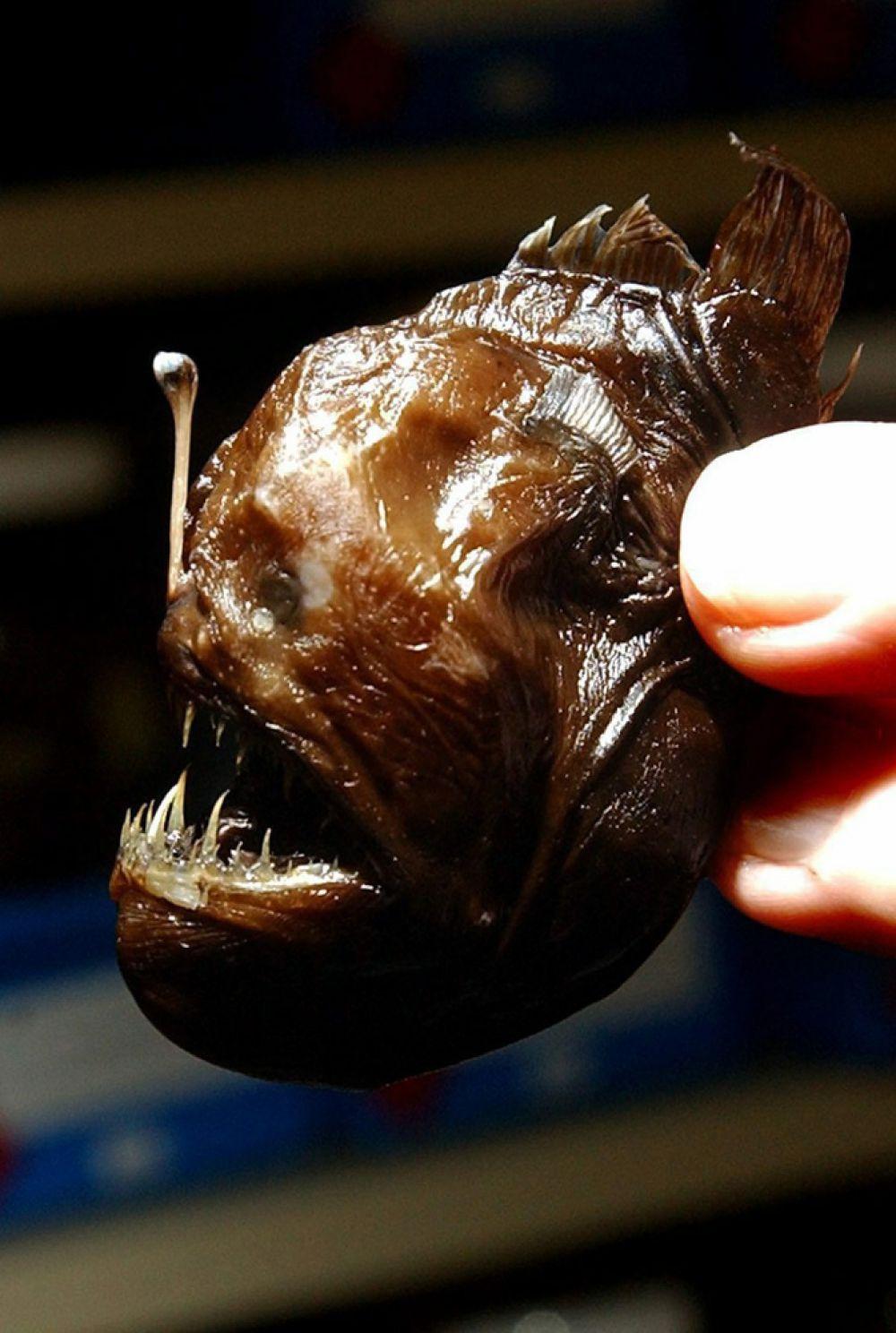 Морской черт также известен как «омар для бедных», удильщик, морской ангел. Этот вид рыб живет в северо-западной атлантической прибрежной зоне.