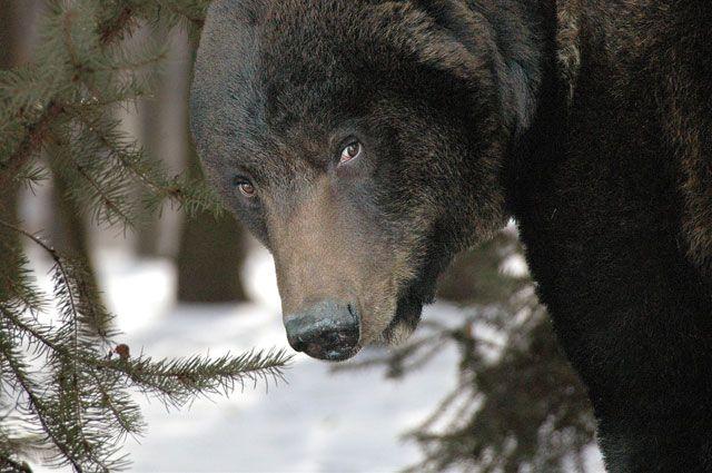 Медведи выходят из зимней спячки.