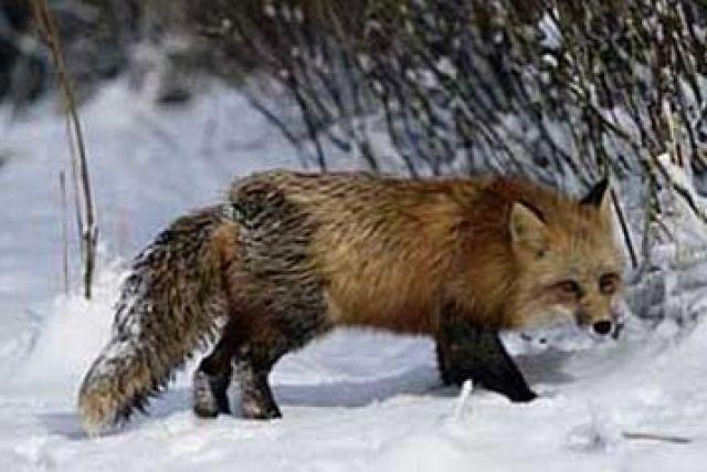 В Новосибирске мошенники продавали домашних лис