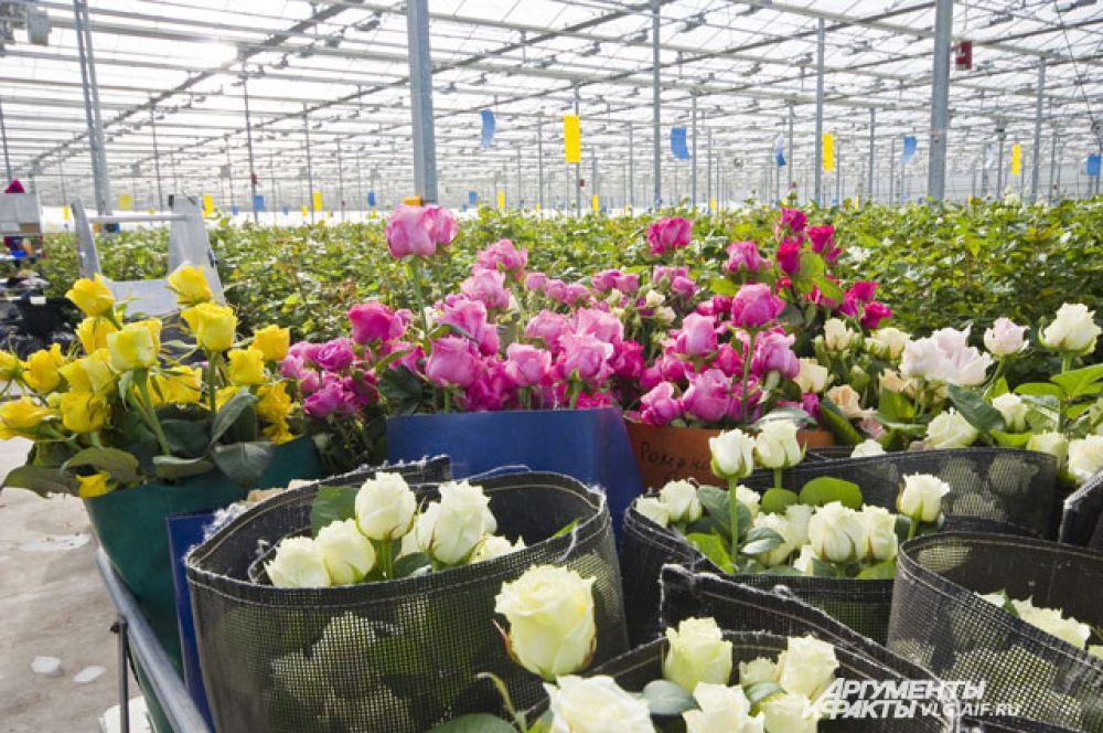 В России нет своих сортов тепличных роз.