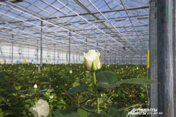 Розы, которые везут из Европы, специалисты называют гербарием.