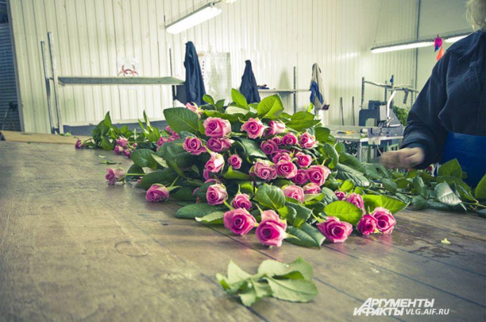 Все сорта, выращиваемые в Волгограде, выведены в Голландии.
