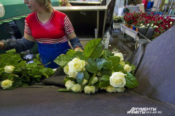 Роза в теплице созревает за 3-4 недели.