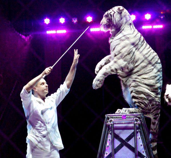 Дрессированные белые тигры Сергея Нестерова