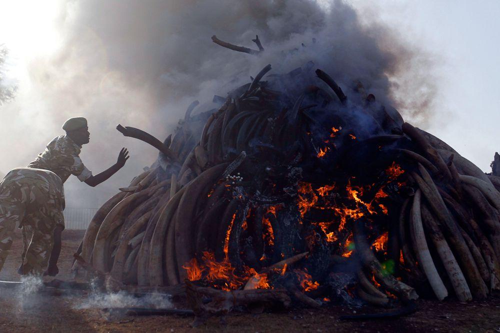 4 марта. Найроби, Кения. Рейнджеры Службы охраны дикой природы сжигают 15 тонн слоновой кости, конфискованные у контрабандистов и браконьеров.