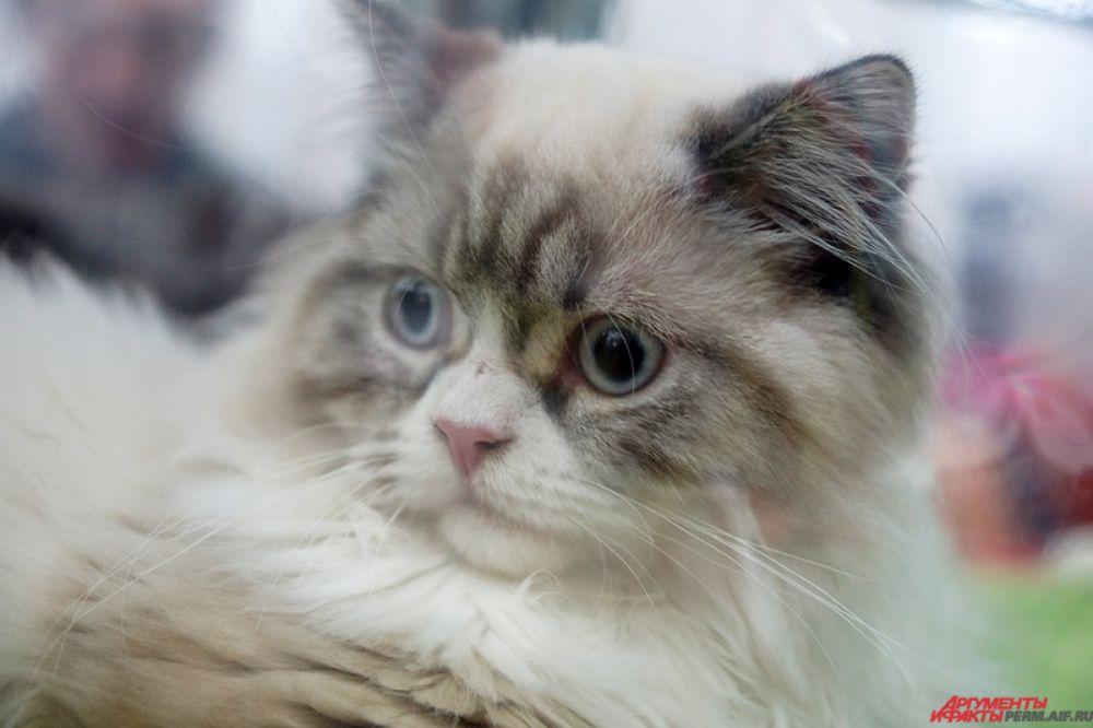 Международная выставка кошек «Кошкин дом» открылась в субботу, 7 марта, на территории Пермской ярмарки.