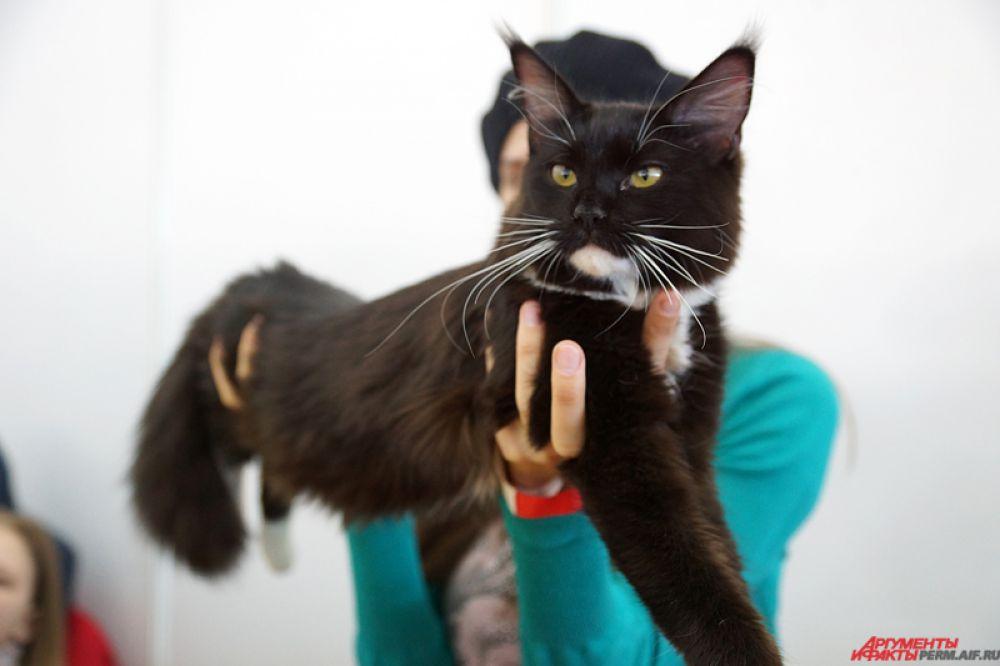 Посетителей особо впечатлила увесистая кошка породы мейн-кун. Своими размерами она напоминала большую рысь.