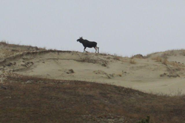 Вид завораживающий: лось на дюнах Куршской косы.