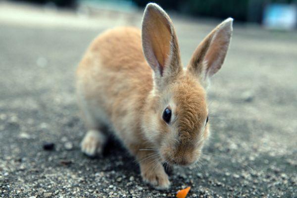 Согласно второй версии, в 1971 году группа школьников выпустила на абсолютно безжизненном острове 8 кроликов, в последствии те расплодились до огромного количества.