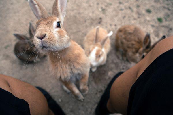 А причем тут кролики и откуда они взялись в таком количестве? Существует две версии: первая говорит о том, что кроликов завезли сюда во время Второй мировой войны и использовали на заводе для проверки эффективности химического оружия. Однако, бывший директор Музея отравляющих веществ утверждает, что те животные погибли во время уничтожения завода после Второй мировой