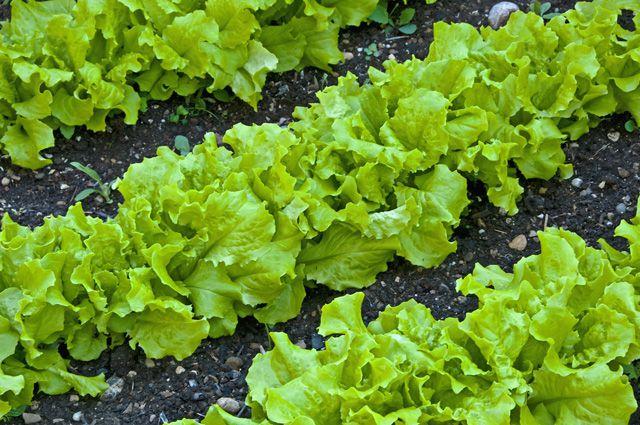 Салат огородный.