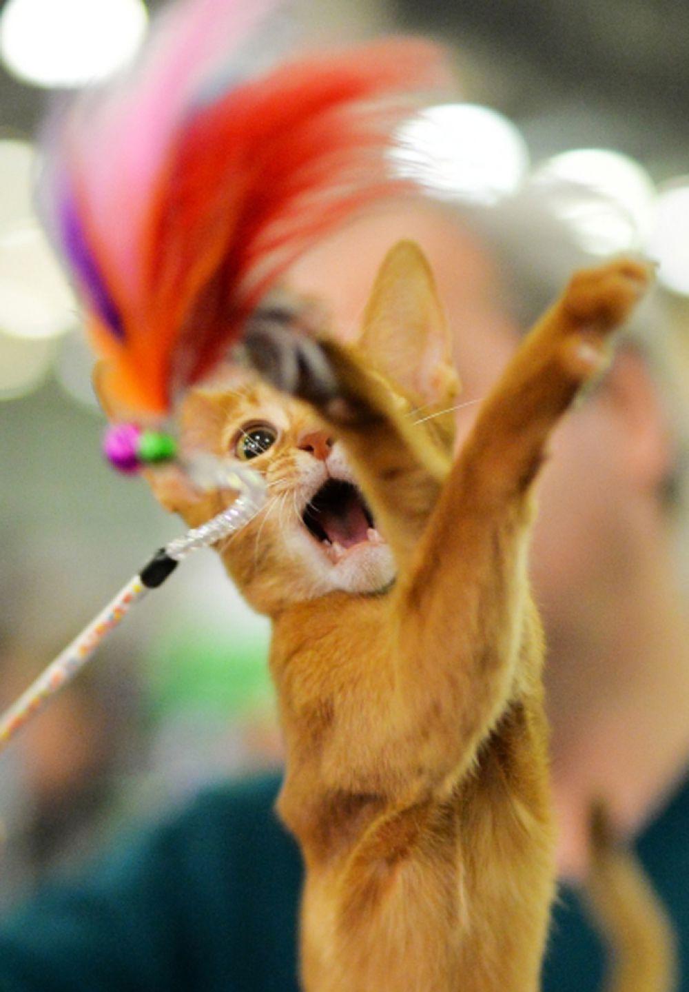 7 марта. Кошка абиссинской породы на Международной выставке кошек «Кэтсбург-2015» в Москве.