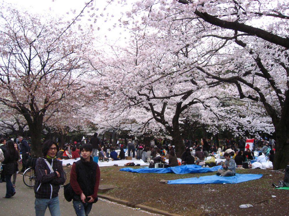 Национальный парк Синдзюкугёэн в Токио – одно из самых известных мест ханами. Здесь растут 1500 деревьев сакуры. Токийский парк Уэно также любим японцами: здесь цветут 1100 деревьев.