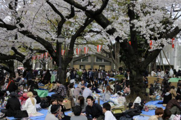 В парки и скверы под покров сакуры в дни цветения дерева приходят множество японцев. Компании могут состоять из членов семьи, коллег, друзей. Наиболее удобные места для созерцания часто занимают еще с ночи. Люди расстилают циновки, коврики, одеяла, иногда ставят палатки, приносят еду и напитки.