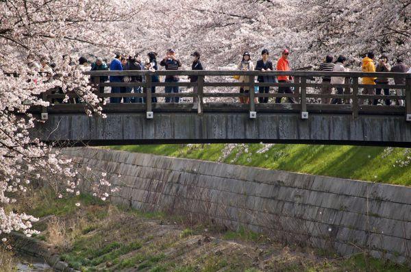 Цветение сакуры – кратковременное удовольствие -  продолжается всего 7-10 дней, затем лепестки опадают. Если погода плохая, то лепестки начинают опадать уже на 5 день.
