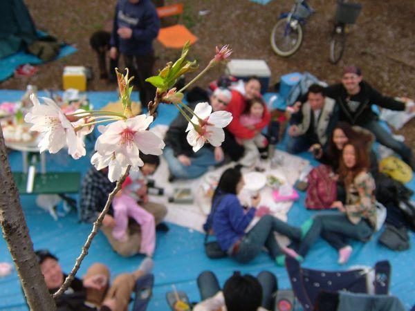 В созерцании цветения и опадания лепестков японцы видят глубокий смысл: расположившись под деревьями, они размышляют о быстротечности и красоте жизни, о ее непостоянности и эфемерности.