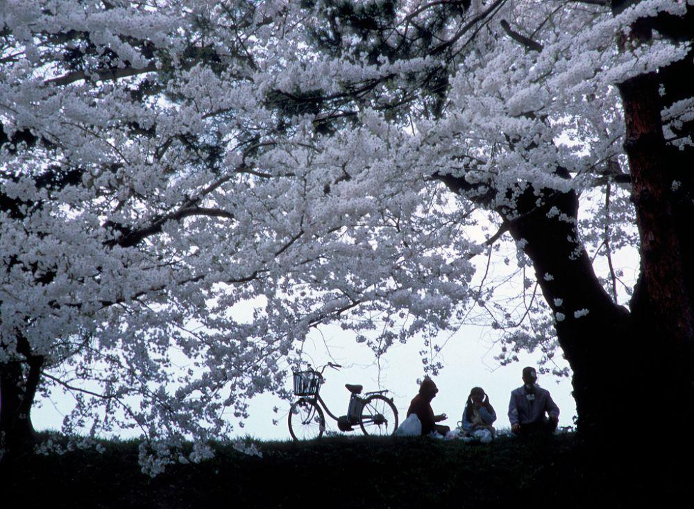Еще в период возникновения ханами цветение сакуры для японцев означало, прежде всего, начало сезона посадки риса и символизировало собой возрождение природы, наступление нового года. Со временем, когда власти для укрепления японской нации приказали сажать сакуру повсеместно, традиция из аристократической превратилась в народную.