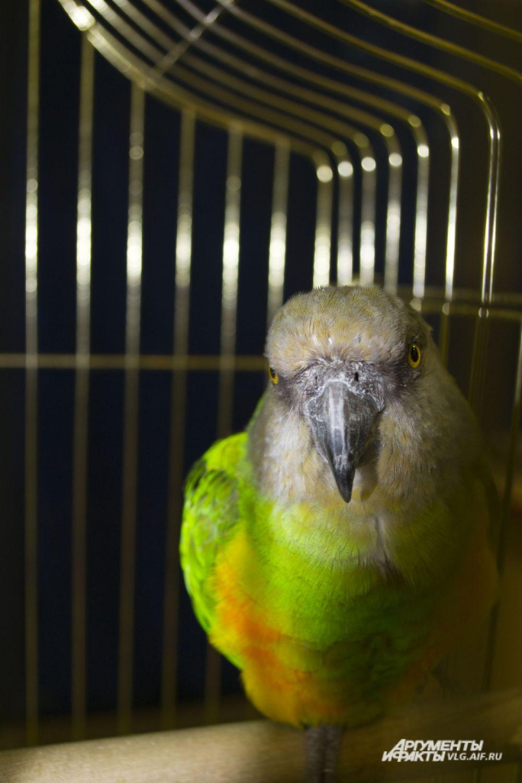 Сенегальский попугай.