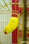 Ожереловый попугай Крамера.