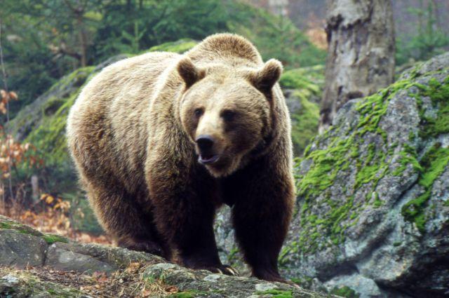 С наступлением весны медведи выходят из спячки.