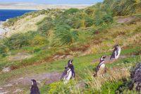 Пингвины в заливе Джипси-Коув. Фолклендские острова.