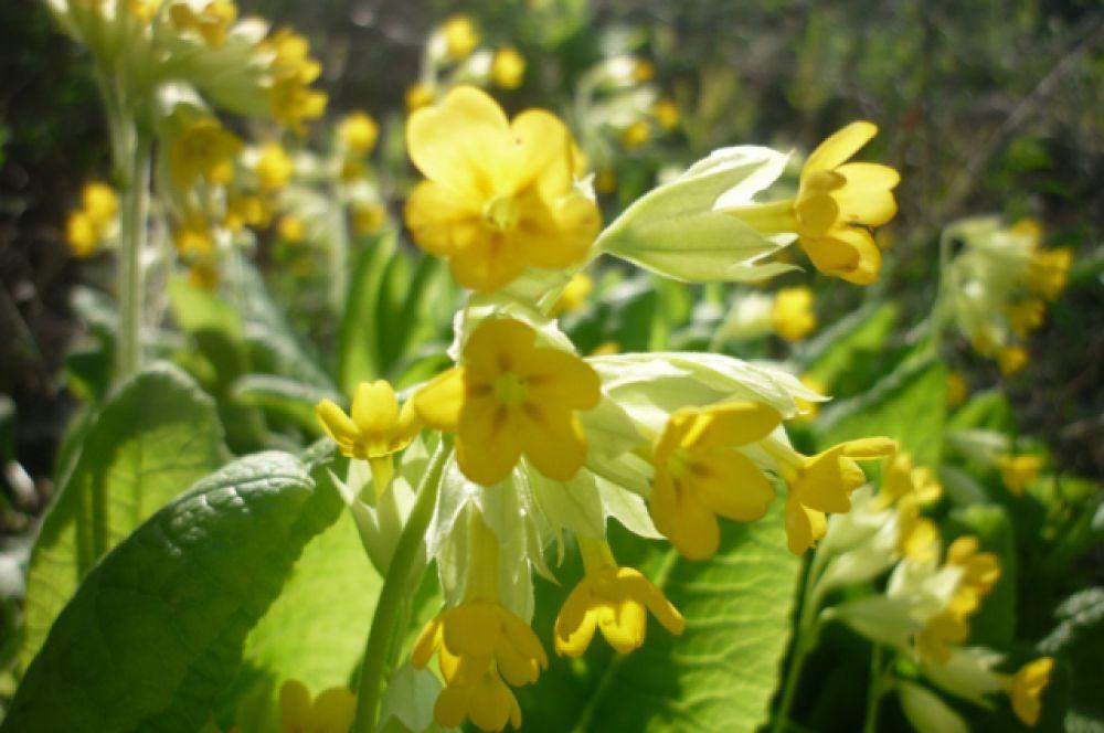 Певроцвет. Зацветает сразу после схода снега. Эти растения относятся к группе так называемых  растений-подснежников, развивающихся под снегом. В Волгоградской области растет на территории природного парка «Нижнехоперский».