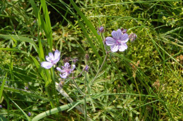 Герань линейнолопостная. Время цветения – май. В Волгоградской области растет на территории природного парка «Щербаковский».