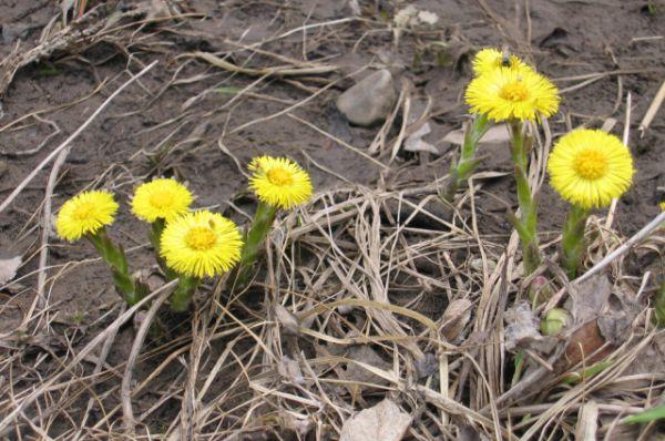 Мать-и-мачеха. Известное лекарственное растение. Цветет с марта по май. В Волгоградской области растет на территории природного парка «Щербаковский».